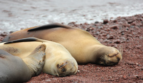 Silversea Cruises sea lions relaxing on Rabida beach in Galapagos