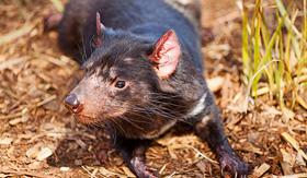 Silversea Cruises tasmanian devil