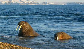 Silversea Cruises walrus in the Arctic Circle