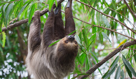 Sloth in Costa Rican jungle