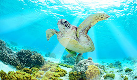 Sea turtle in the Southern Caribbean