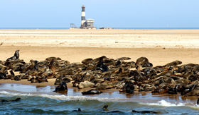 Seals gathering on beach