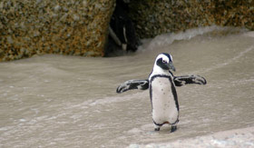 Magellan Penguin on Beach  - Viking Oceans