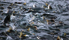 Salmon Migrating in Valdez, Alaska