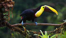 Toucan in Panama - Viking Oceans