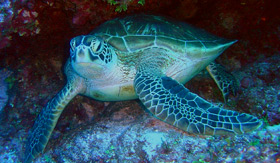 Snorkeling with Sea Turtles - Windstar Cruises