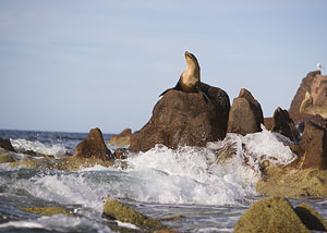 Galapagos -Sea Lion
