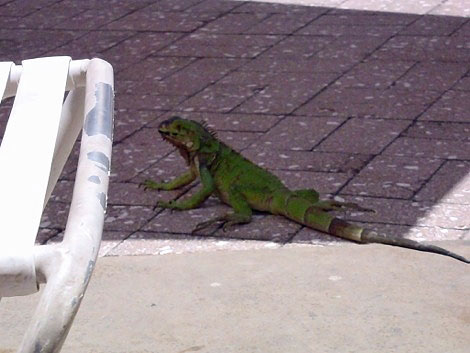 This beautiful green lizards were everywhere.