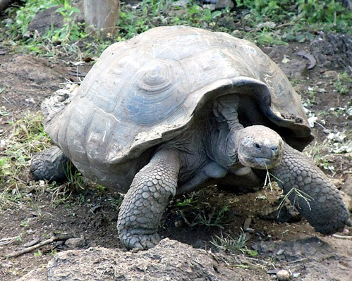 Giant Tortoise in Galapagos.