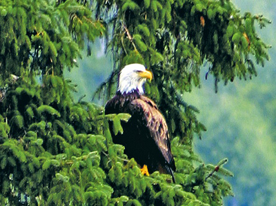 An eagle in Ketchikan. Photo courtesy of Princess Cruises.