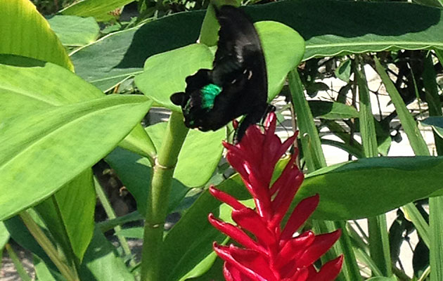 Can you spot the black and green butterfly?