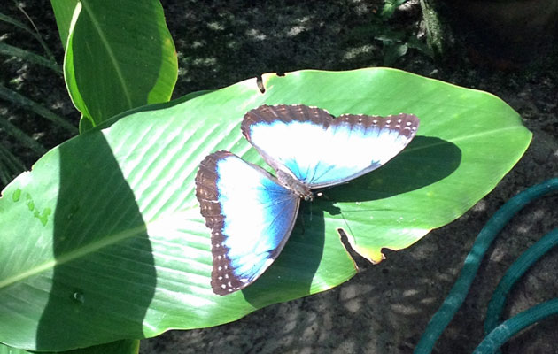 The elusive blue butterfly