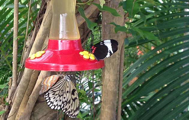 Butterflies stop for a drink of sugary water