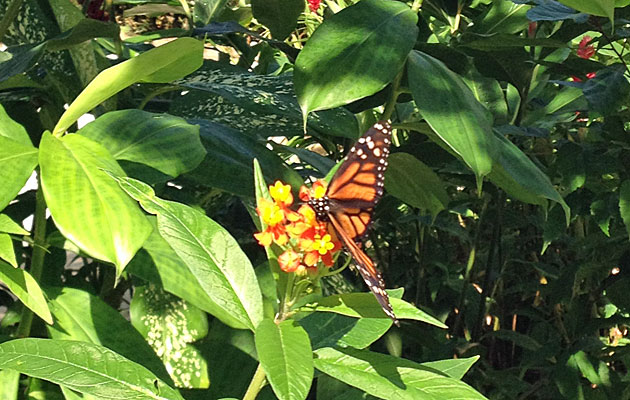 A Monarch butterfly rests on a flower