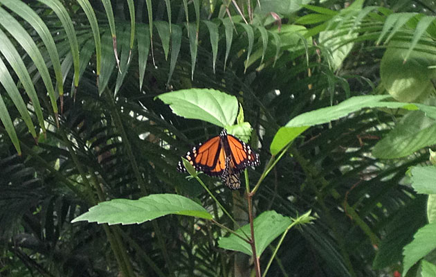 Monarchs are the most known butterflies