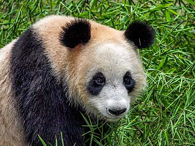 Panda in China. Photo courtesy of Royal Caribbean.