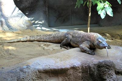 Indonesia's scariest native, the Komodo Dragon