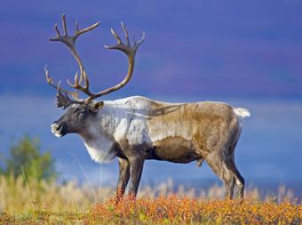 Caribou in Alaska
