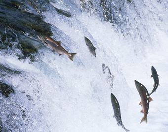 Alaskan salmon swimming upstream