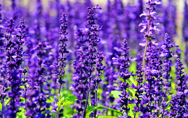 Lavender is one of the essential oils used in the Mindful Dreams treatments.