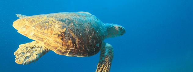 Sea Turtle - Courtesy of MSC Cruises