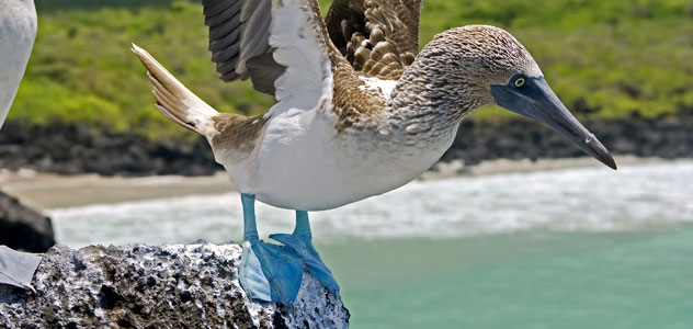 slide-blue-footed-booby
