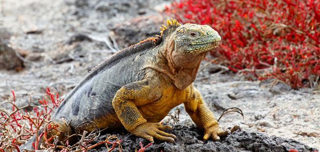 slide-iguana-yellow