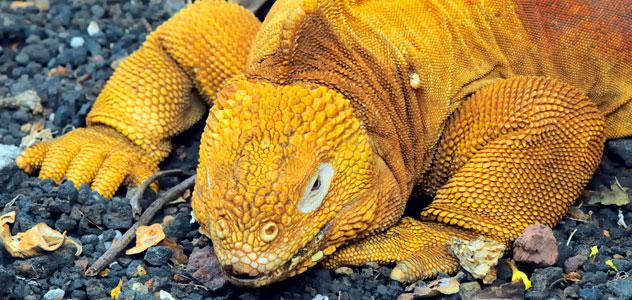 slide-land-iguana