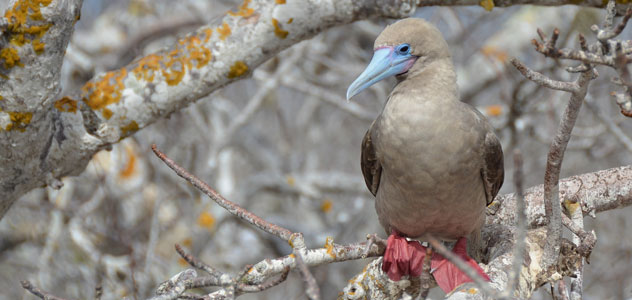 slide-red-footed-booby