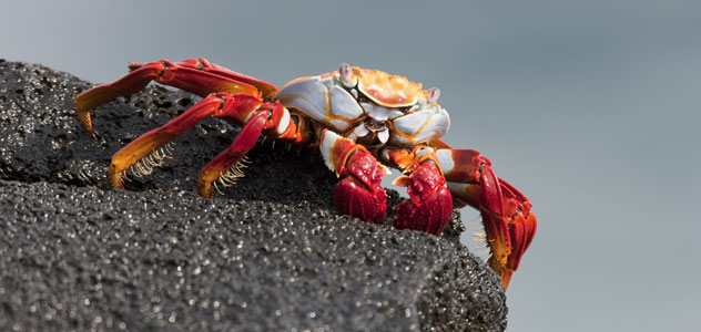 slide-sally-lightfoot-crab